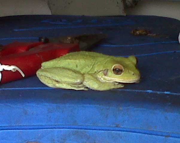 Cuban Tree Frog in the garden shed