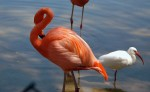 Flamingo and White Ibis. Lion Country Safari, Loxahatchee, FL, October 24, 2011.