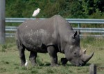 White Rhinoceros with attendant Cattle Egrets. Lion Country Safari, Loxahatchee, FL, October 24, 2011.