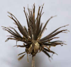 Bidens alba seedhead. Note the twin teeth on each little spikelet. Very effective at hitching a ride.