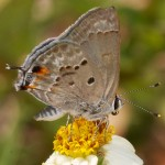 Strymon istapa (Mallow Scrub-Hairstreak), Boca Raton, FL, March 28, 2013.