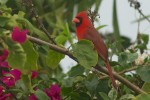 Northern Cardinal (Cardinalis cardinalis). Boca Raton, FL, March 1, 2013.