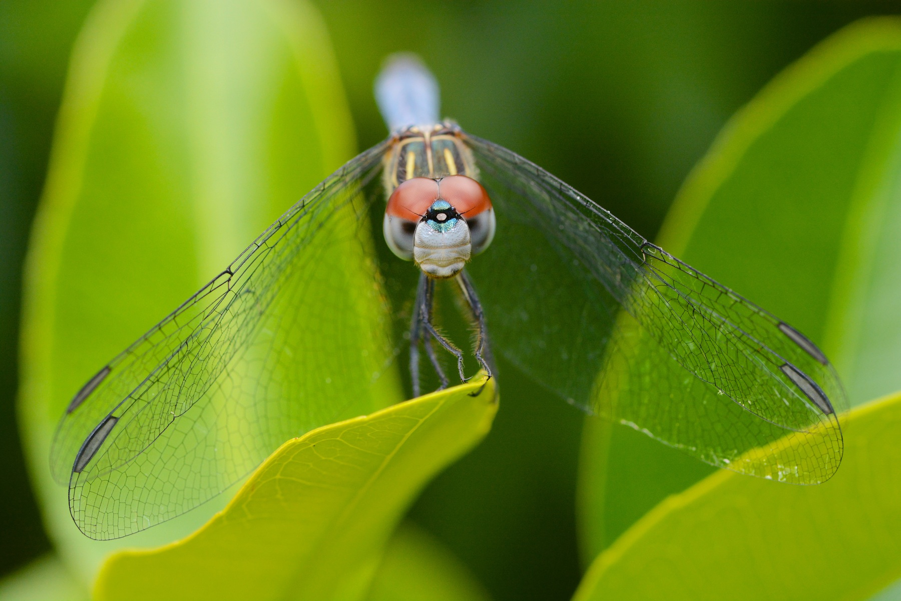 Dragonflies: eyes and a face – Benweb 3.2