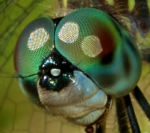 Blue Dasher (<i>Pachydiplax longipennis</i>) displaying multiple accessory pseudopupils.