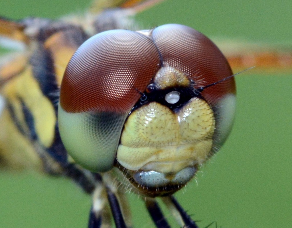 <i>Celithemis eponina</i>, Halloween Pennant, close-up. Boca Raton, FL, May 24, 2013.