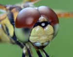 Celithemis eponina, Halloween Pennant, close-up. Boca Raton, FL, May 24, 2013.