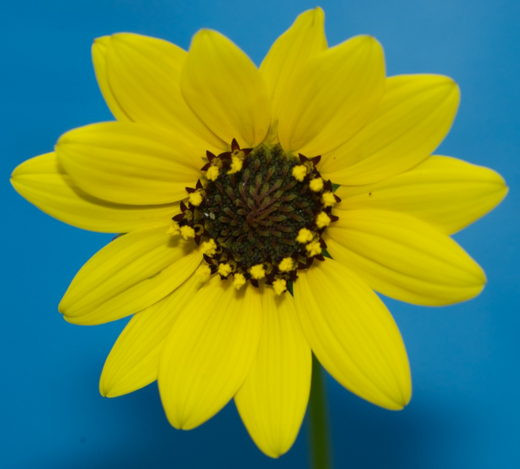 Dune Sunflower (Helianthus debilis). Boca Raton, FL, July 9, 2012.