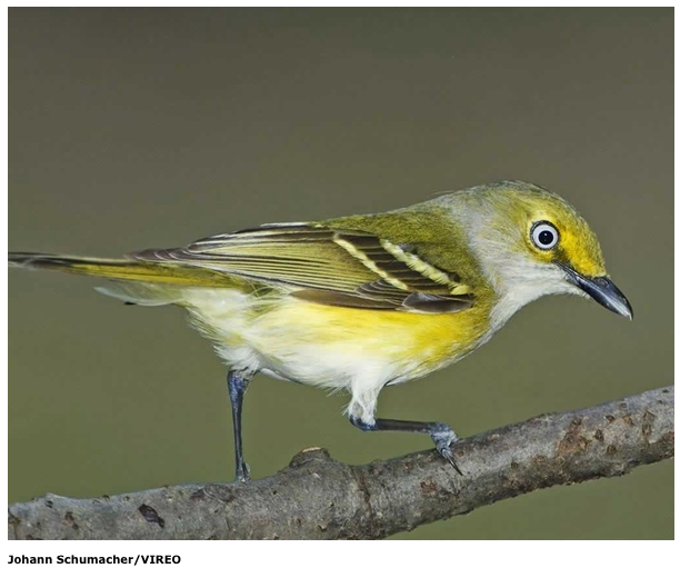White-Eyed Vireo. Photo by Johann Schumacher/VIREO