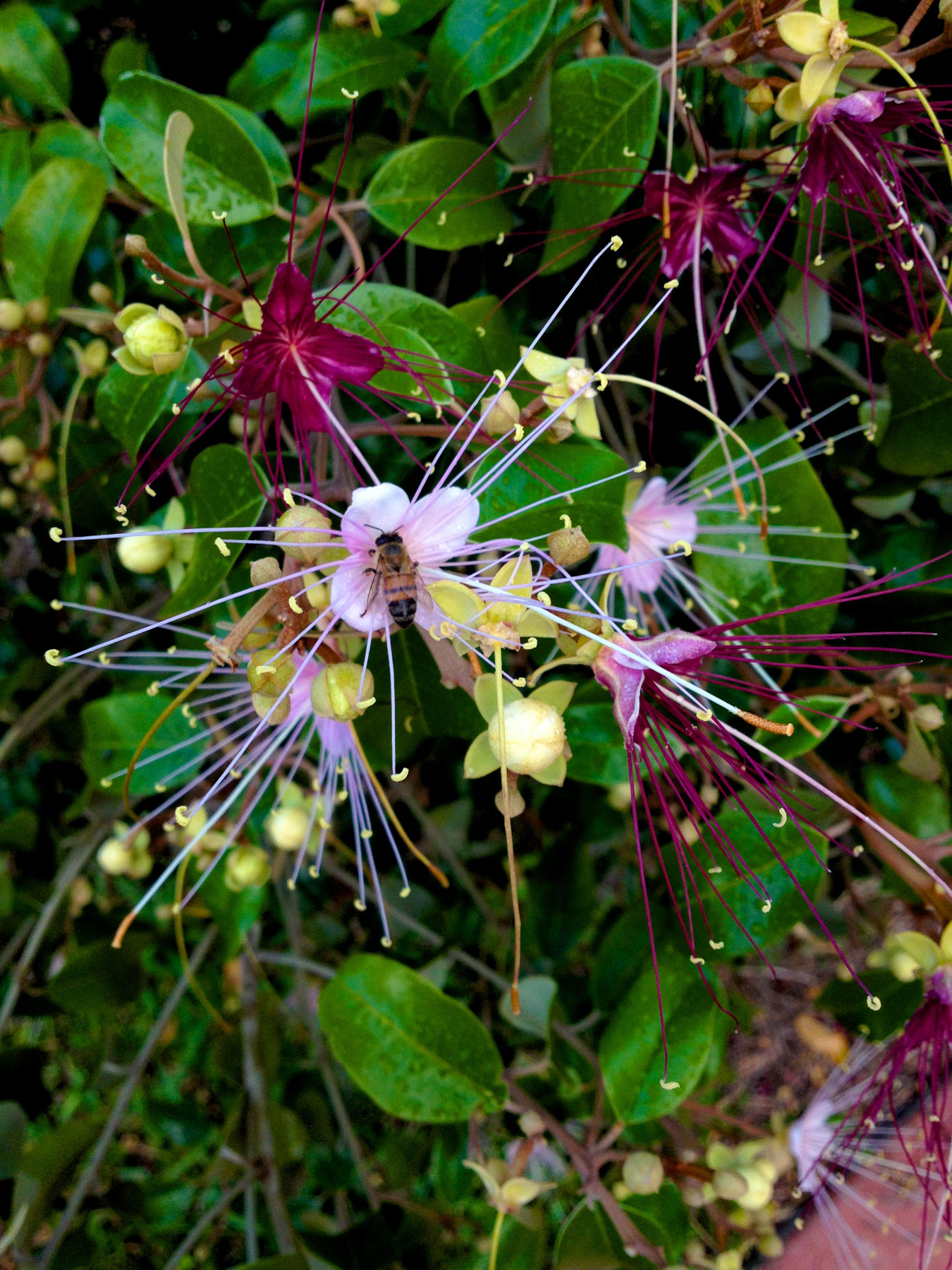 Backyard Plant Jamaica Caper Or Flowers Attract Bees