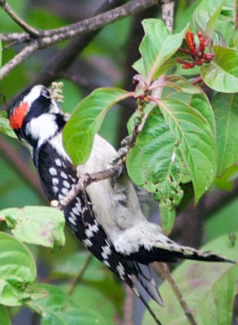 Downy Woodpecker (Picoides pubescens) gleaning scale insects from firebush (Hamelia patens). Boca Raton, FL, May 1, 2014.