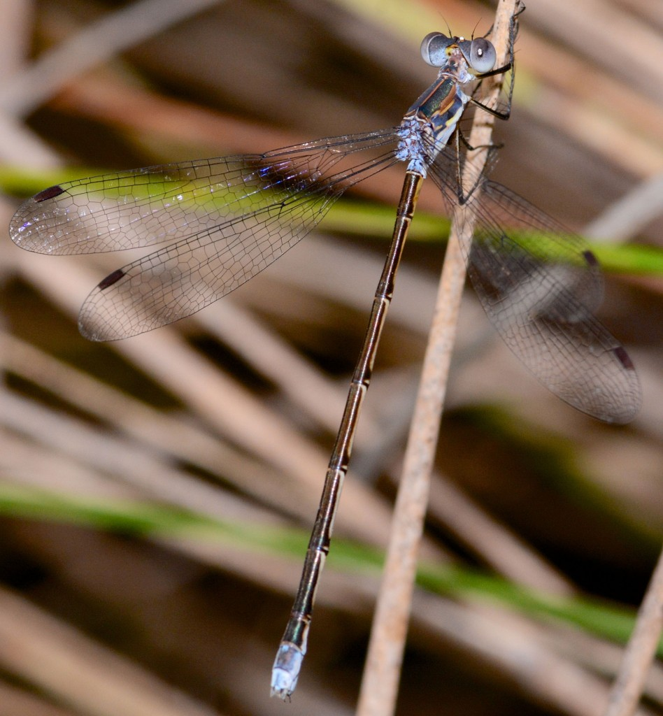 Carolina Spreadwing (Lestes vidua). Yamato Scrub, August 31, 2014.
