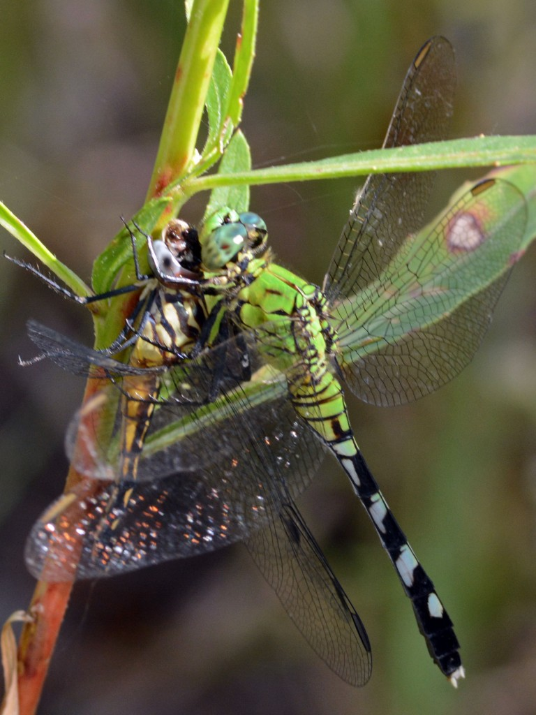 Eastern Pondhawk (Erythemis simplicicollis) enjoying a repast of Blue Dasher (). Yamato Scrub, September 1, 2014.