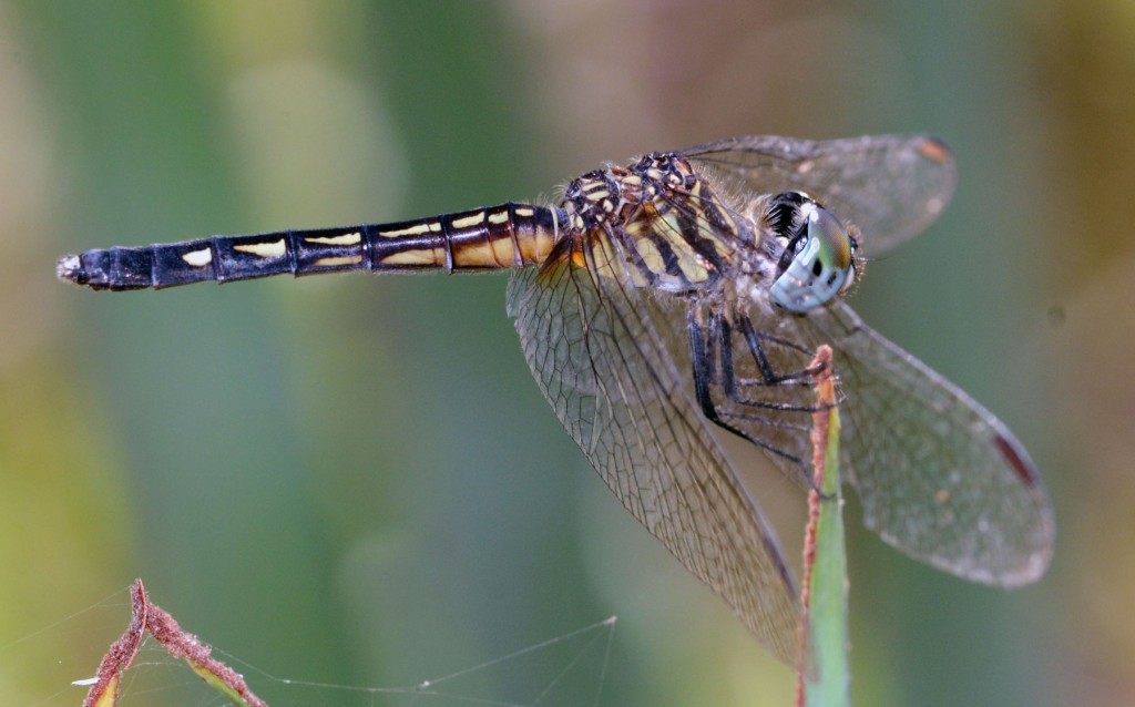 Blue Dasher (Pachydiplax longipennis), Yamato Scrub, September 1, 2014.