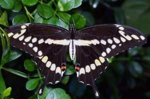 Giant Swallowtail (Papilio cresphontes). Boca Raton, FL, September 18, 2014.