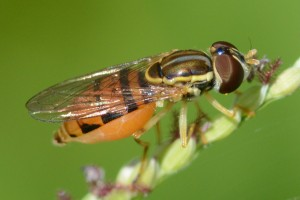 A flower fly, Toxomerus marginatus. Like many tiny insects, this one has no common name.