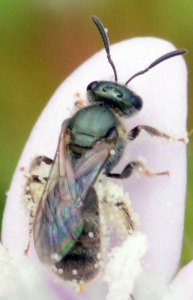 Halictid bee, Lasioglossum species. Boca Raton, FL, October 22, 2014.