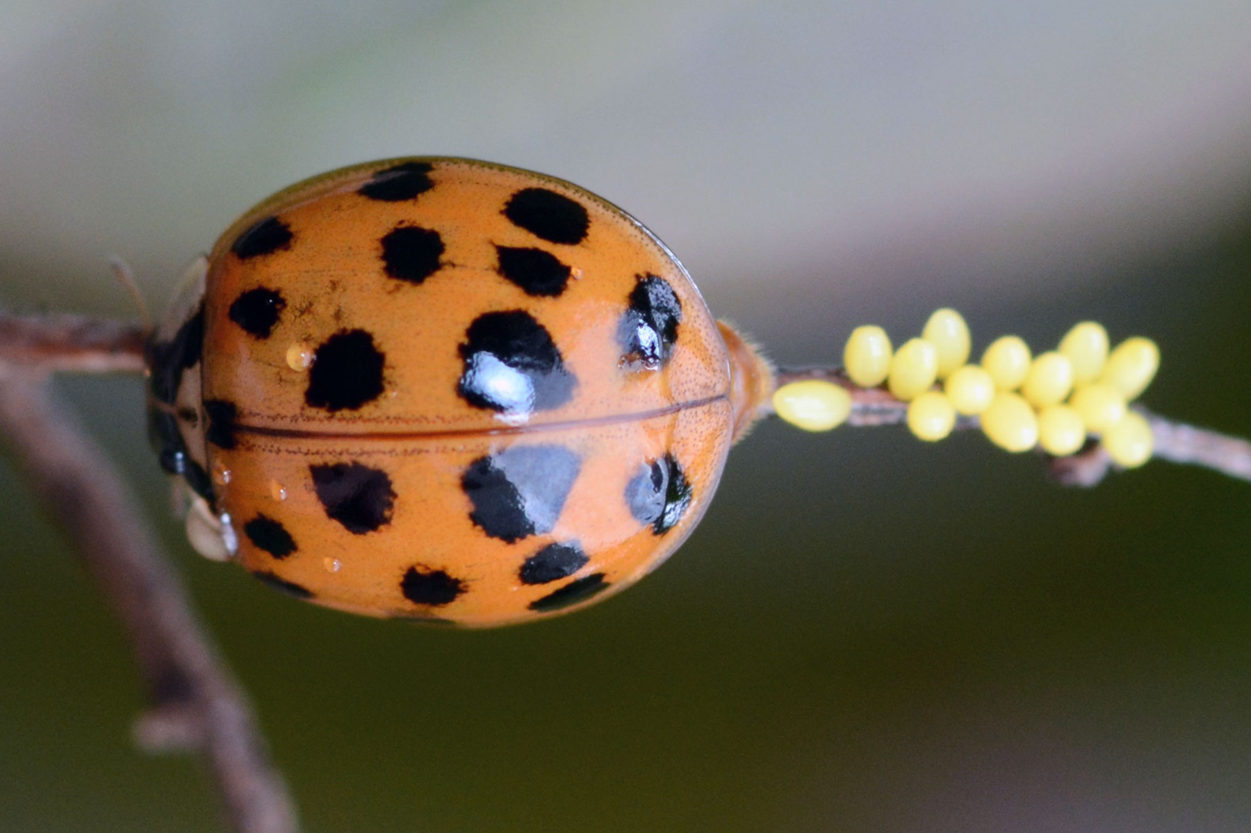 Asian multicolored lady beetle egg