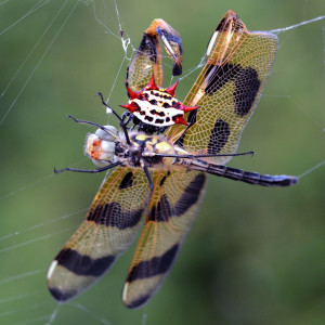 Watch where you fly! Halloween Pennant (Celithemis eponina) served up for breakfast to a spiny-backed orb weaver (Gasteracantha cancriformis). Boca Raton, FL, March 18, 2015.