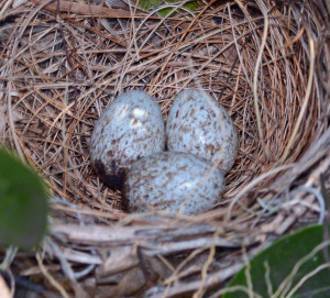 Eggs in nest. Boca Raton, FL, April 25, 2015.