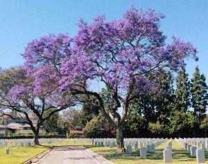 Flowering Jacaranda tree. Westwood, CA, April 4, 2015. Photo courtesy of Jan Kolstad.
