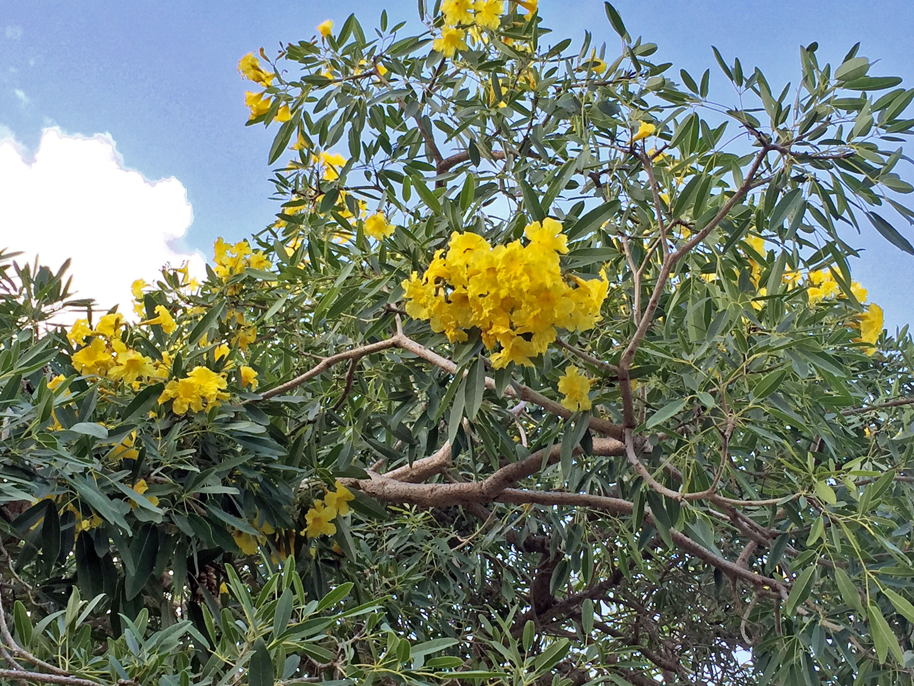 Tabebuia aurea flowering for a second time this year. June 28, 2015. Boca Raton, FL.