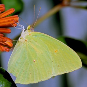 Cloudless Sulphur butterfly (Phoebis sennae). Boca Raton, FL, October 5, 2014.