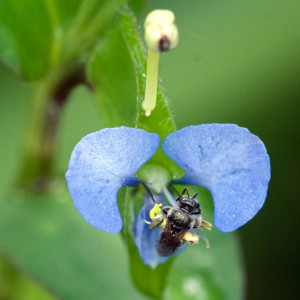 <em>Commelina</em> flower with small bee (<em>Lasioglossum lepidii</em>). The flower is about 3/4-inch wide.