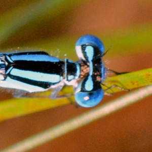 <em>Enallagma</em> eyespots with broad blue bar connecting them.