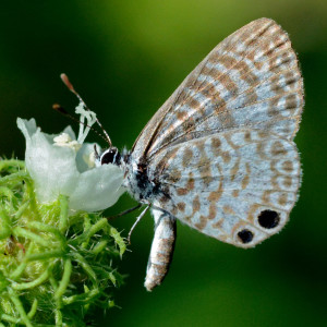 Cassius Blue butterfly with a face full of Cordia globosa flower. Boca Raton, FL, September 3, 2015.