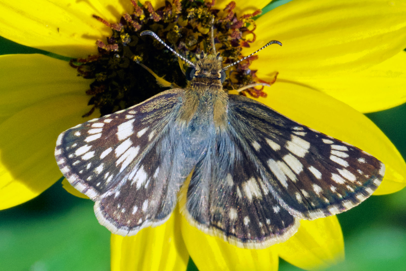 Checkered-Skipper (Pyrgus sp.), Boca Raton, FL, September 11, 2015.