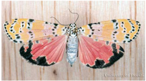 Bella Moth underwings. Photo by Don Hall from the UF/IFAS featured creatures website.