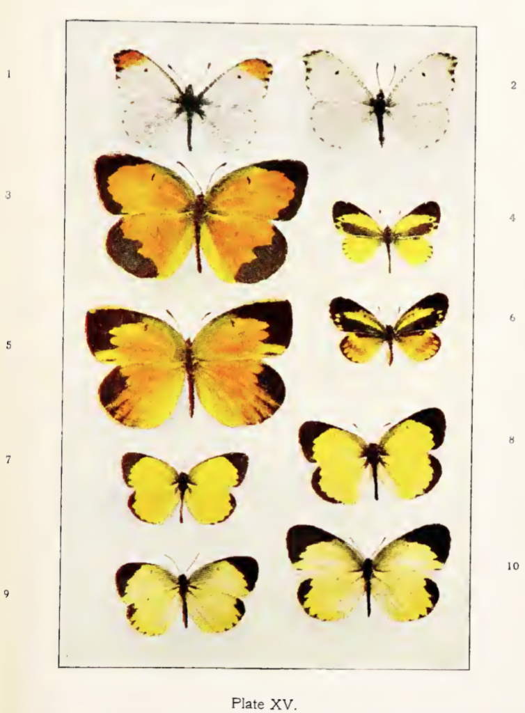 Plate XV from Comstock (1904)