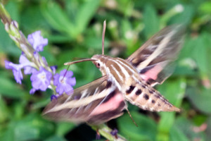 Hyles lineata - White-lined Sphinx moth (Hodges# 7894). Boca Raton, FL, October 28, 2015.