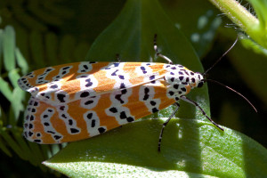 Ornate Bella Moth (<em>Utethesia ornatrix</em>). Boca Raton, FL, October 7, 2015.