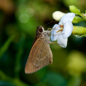 Three-spotted Skipper (<em>Cymaenes tripunctus</em>). Boca Raton, FL, September 23, 2015.