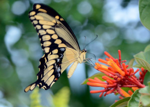 Giant Swallowtail (<em>Papiliio cresphontes</em>). Boca Raton, FL, September 2, 2015.