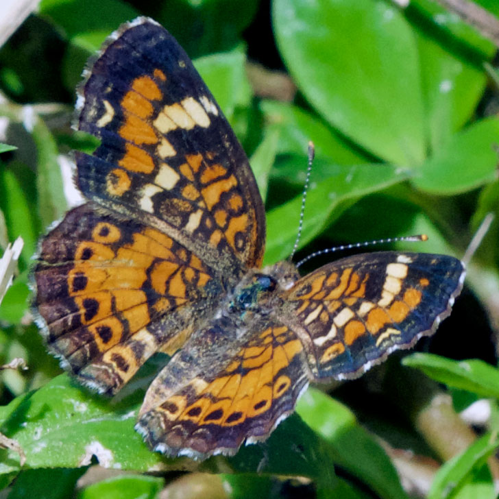 Phaon Crescent (Phyciodes phaon). Boca Raton, FL, October 7, 2015.