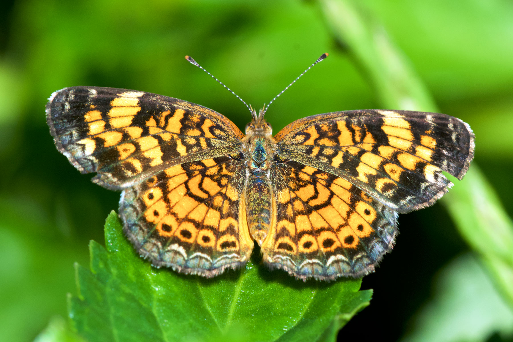 Pearl Crescent (Phyciodes phaon). Boca Raton, FL, October 7, 2015.