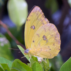 Orange-barred Sulphur (Phoebis philea). Boca Raton, FL, November 20, 2015.