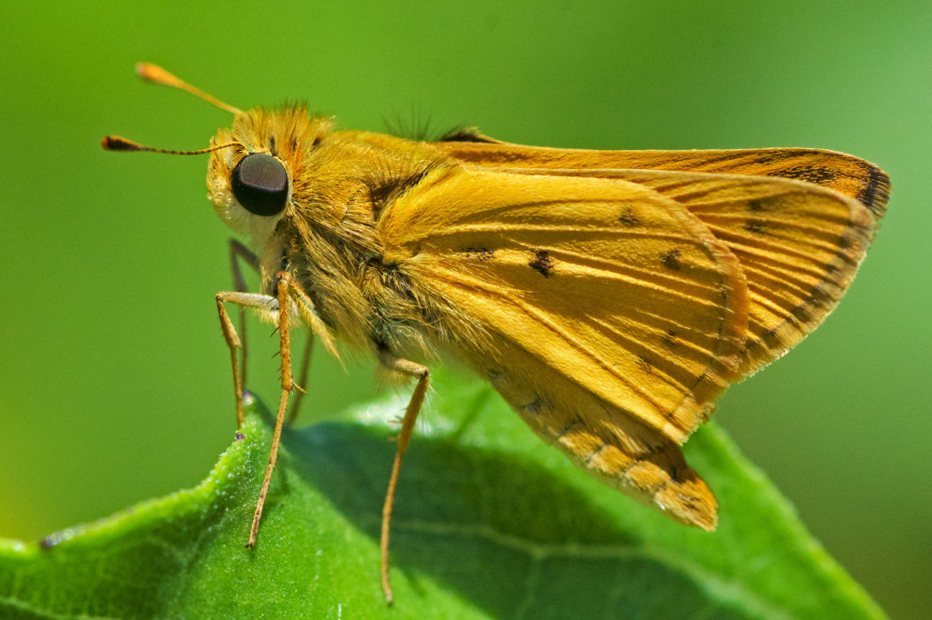Fiery Skipper (Hylephila phyleus) perching on Dune Sunflower leaf. Boca Raton, FL, May 8, 2016.