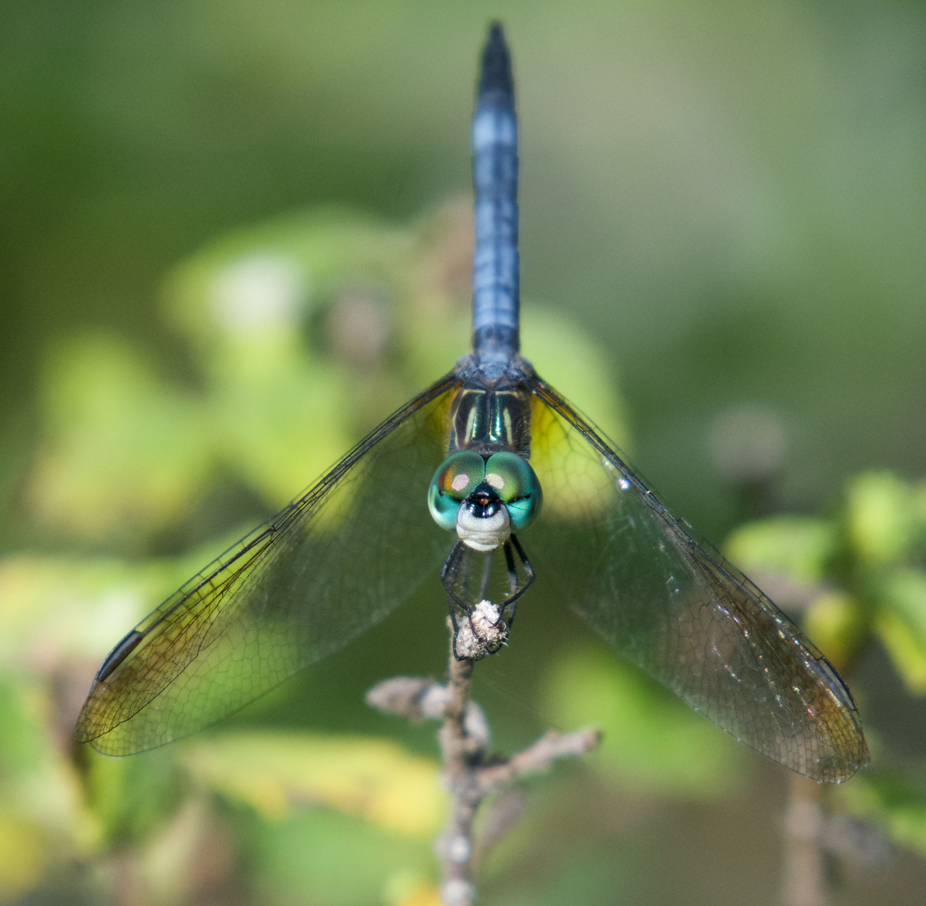 Blue Dasher (Pachydiplax longipennis). Boca Raton, FL, October 9, 2016