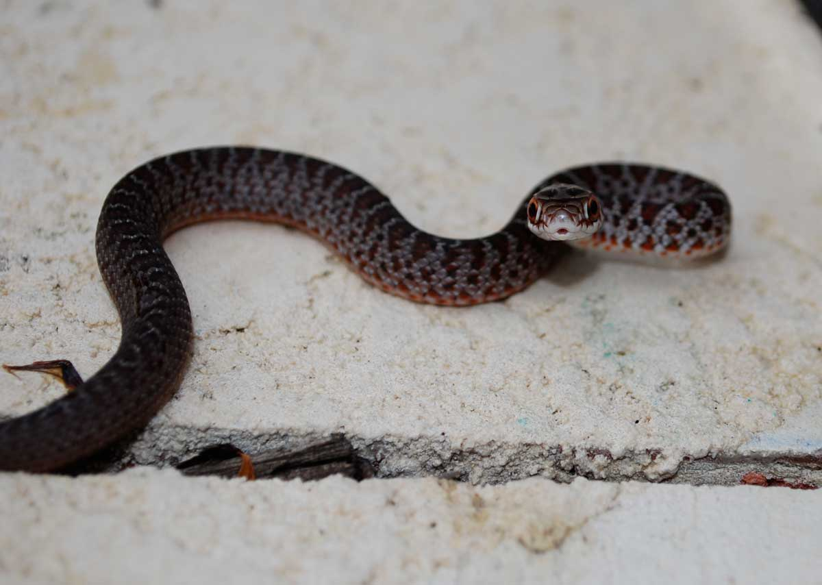 Baby Snakes Are Hard To Identify Benweb 3 2