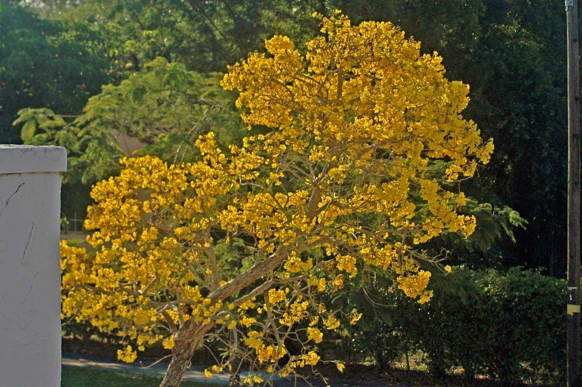 Flowering Trees Benweb 32