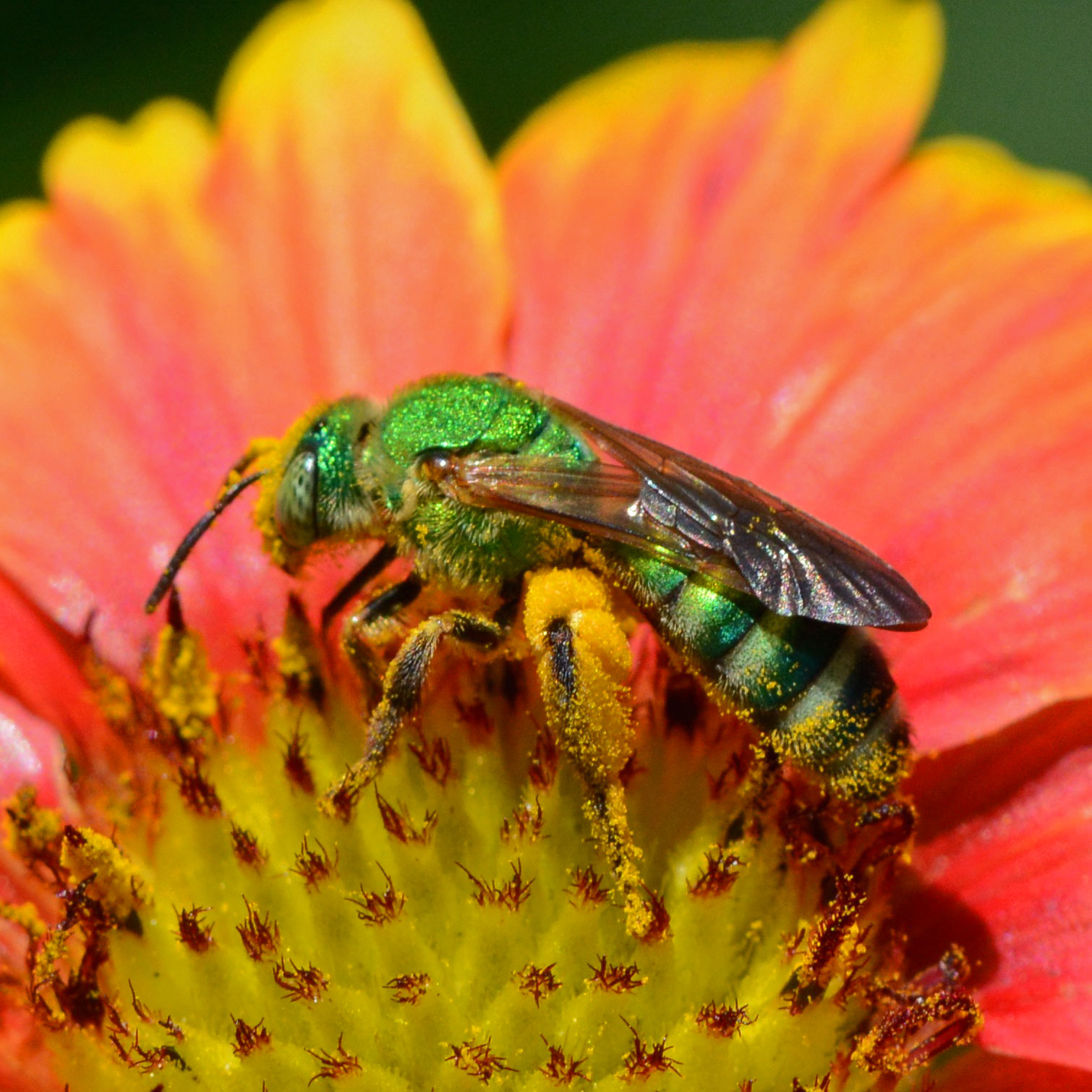 Sweat Bees Or Spring Is Happening Benweb 3 2